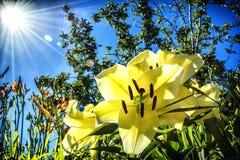 Lilly amarillo en el jardín en la cabaña Imagen de archivo