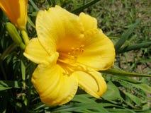 Lilly amarillo, Muscoda, Wisconsin Fotografía de archivo