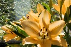 Lilly anaranjado en luz del sol Fotografía de archivo libre de regalías