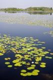 Lilly Auflagen in einem Florida-Sumpf stockfotos