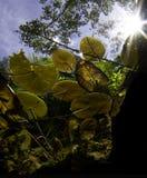 Lilly Auflagen mit Sonne im cenote Stockfoto