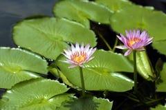 Lilly Auflagen und rosafarbene Blumen Stockbild
