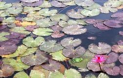 Lilly avec la grenouille et les feuilles Image stock
