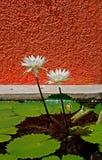 lilly balanga Zdjęcie Royalty Free