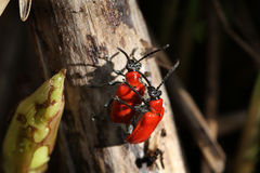 Lilly beetles mating. Stock Images