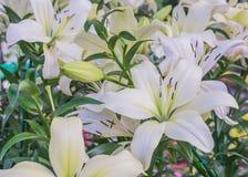 Lilly bianco Fotografie Stock Libere da Diritti