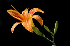 Lilly with black background. Orange lilly with black background Stock Photography