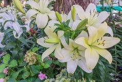 Lilly blanc photo stock