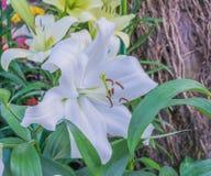 Lilly blanc photos libres de droits