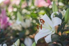 Lilly blanco Fotografía de archivo libre de regalías