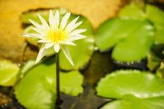 Lilly blanco Fotografía de archivo