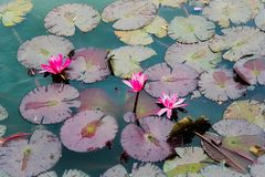 lilly block Arkivbild