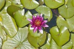 Lilly block och lotusblommablommor på trädgårdarna och Villan Ephrussi de Rothschild, Helgon-Jean-lock-Ferrat, Frankrike Royaltyfria Foton
