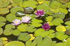 Lilly block och lotusblommablommor på trädgårdarna och Villan Ephrussi de Rothschild, Helgon-Jean-lock-Ferrat, Frankrike Arkivfoton