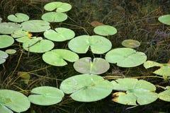 Lilly block på klart flodvatten med gräs under Fotografering för Bildbyråer