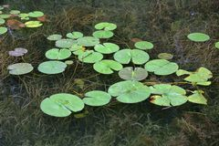 Lilly block på klart flodvatten med gräs under Arkivbilder