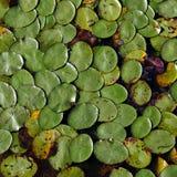 Lilly block på yttersidan av en sjö Royaltyfri Foto