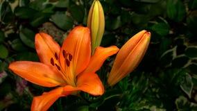 Lilly blommaöppning lager videofilmer