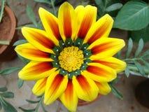 Lilly blomma i trädgård Fotografering för Bildbyråer