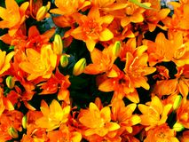 Lilly blooming flower background bright and beautiful Royalty Free Stock Photos