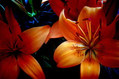 Lilly blossom. Detail of orange lilly blossom Stock Images
