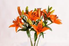 Lilly Blossoms arancio su whote Fotografia Stock Libera da Diritti
