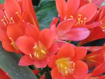 Lilly-Blume in der Blüte stockbild