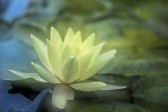 Lilly branco Imagem de Stock