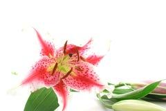 Lilly cor-de-rosa Imagem de Stock Royalty Free