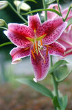 Lilly cor-de-rosa 7 Fotografia de Stock