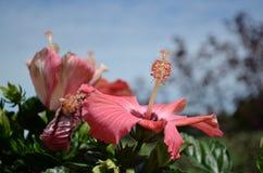 Lilly cor-de-rosa de florescência Imagens de Stock Royalty Free
