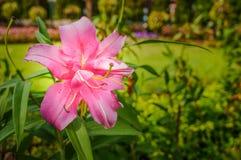 Lilly cor-de-rosa no jardim Fotografia de Stock