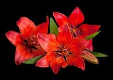 lilly czerwony kwiat Zdjęcie Stock