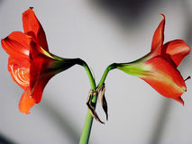Lilly duality. Blooming imperial lilly (Lilium candidum stock photography