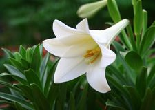 Lilly en fleur Image stock