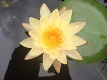 lilly fleur de l'eau, lotus Photographie stock