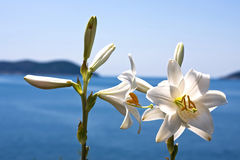 Lilly flower. A white lilly flower at the shore of the adriatic sea Royalty Free Stock Photos