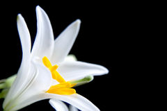 Lilly flower. White lilly on the black Stock Photo