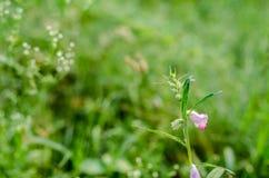 lilly flower bud foliage Royalty Free Stock Image