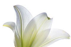 Lilly  flower closeup Stock Photography