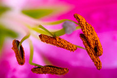 Lilly  flower closeup Stock Images