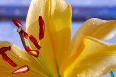 Lilly flower closeup. Stock Photos