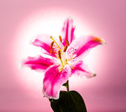 Lilly flower isolated on pink  background Royalty Free Stock Photo