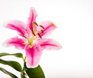 Lilly flower isolated on white background Stock Images