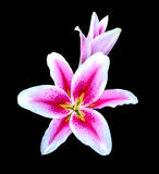 Lilly flower Stock Image
