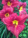 Lilly. Flower red and yellow with rain drops on royalty free stock photography