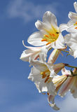 Lilly flowers. Lillies in bloom showing petals, stigma, stamens and a fly against a blue sky Stock Image