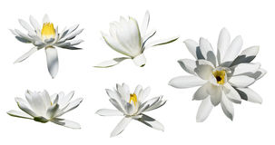Lilly flowers isolated on white Royalty Free Stock Image