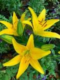 Lilly giallo fresco su fondo verde fotografia stock