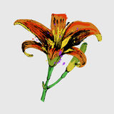 Lilly illustration. flower with leaves and buds.hand drawn Royalty Free Stock Images